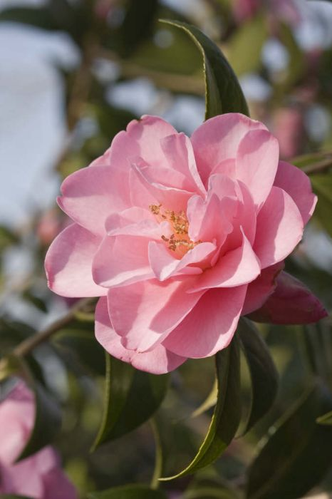 camellia 'Daintiness'
