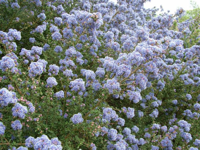 Californian lilac 'Puget Blue'