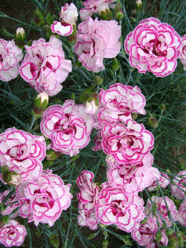 pink 'Gran's Favourite'