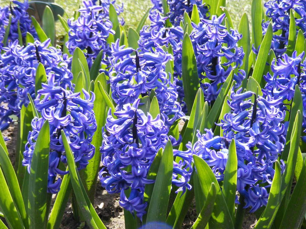 hyacinth 'Ostara'