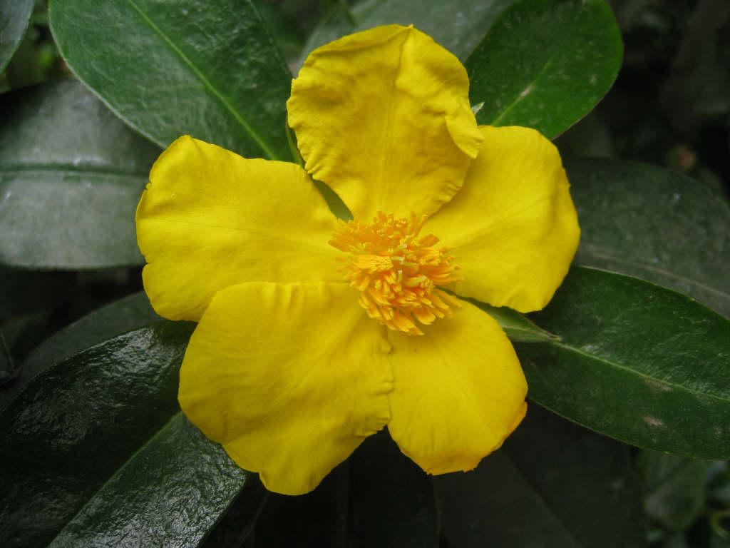 <i>Hibbertia scandens</i>