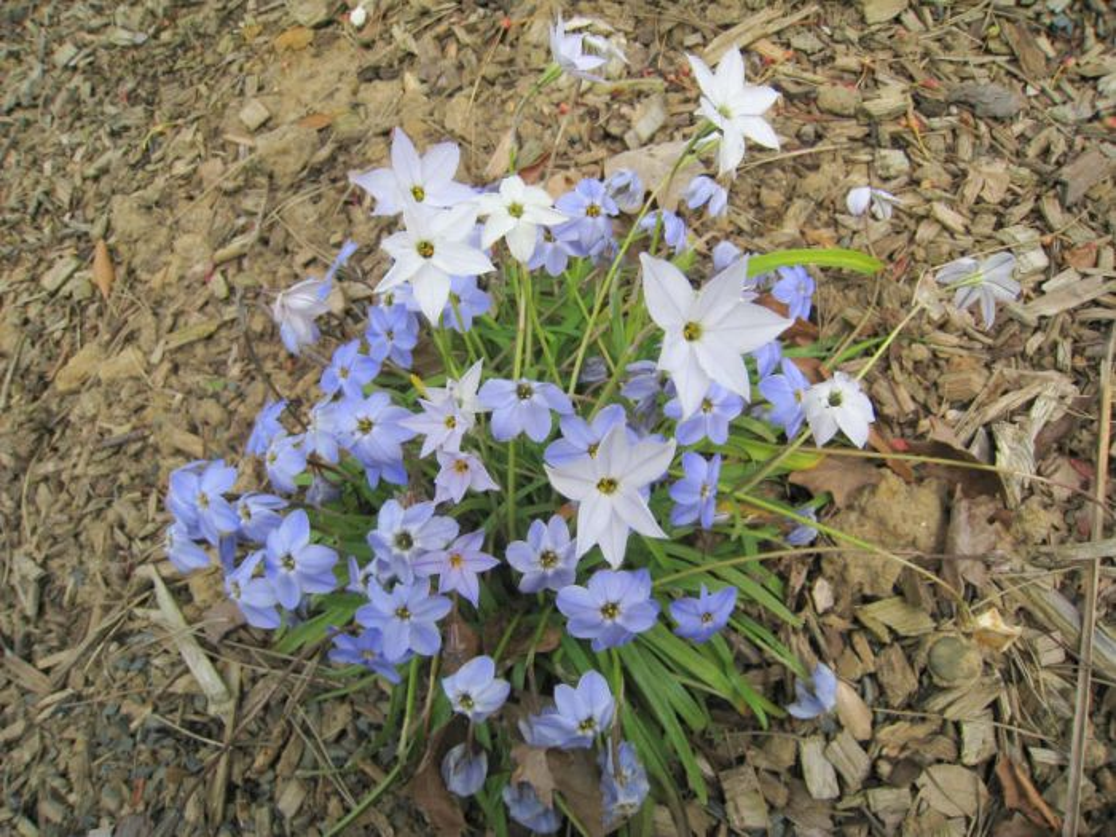spring starflower 'Rolf Fiedler'