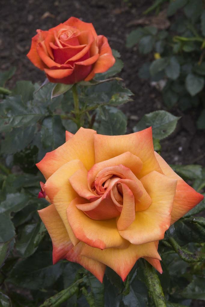rose [Remember Me]