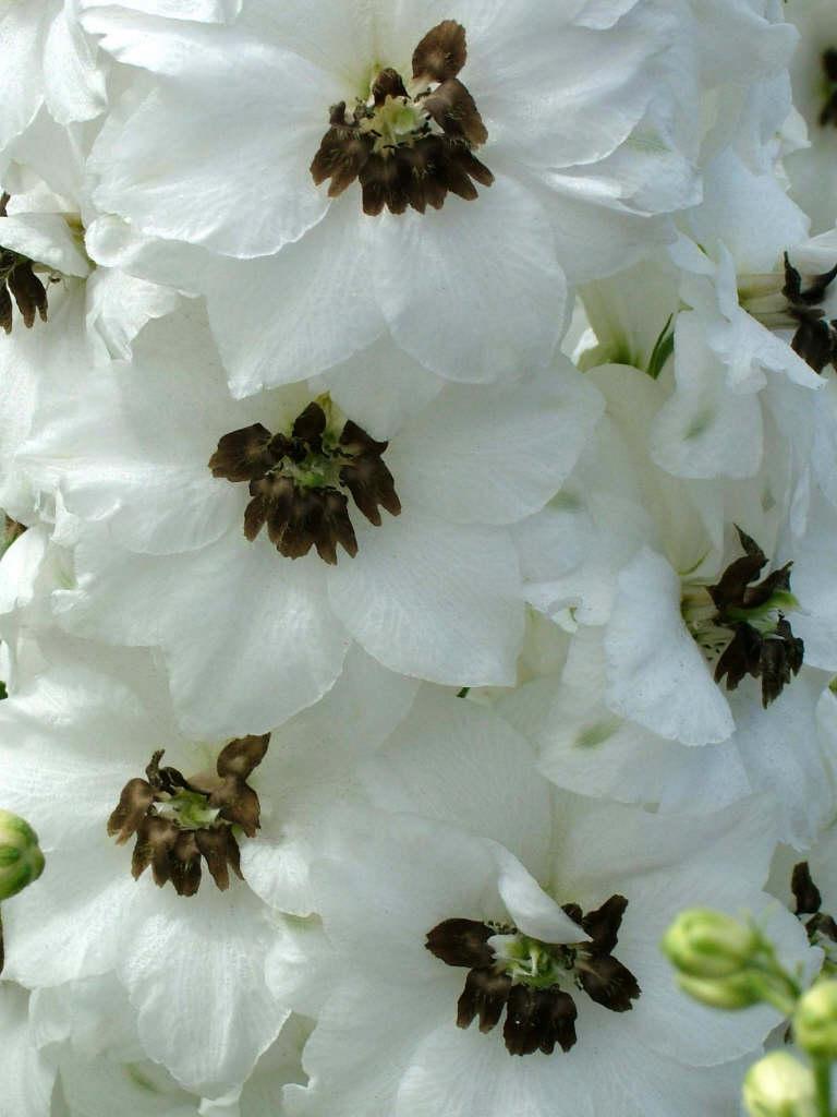 delphinium 'Lilian Bassett'