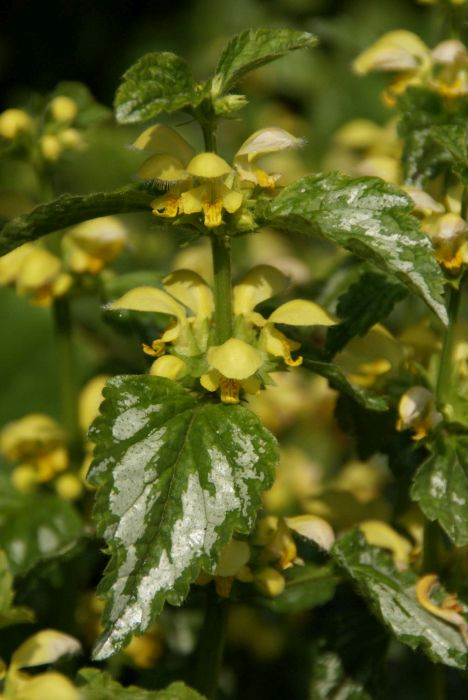 yellow archangel 'Florentinum'