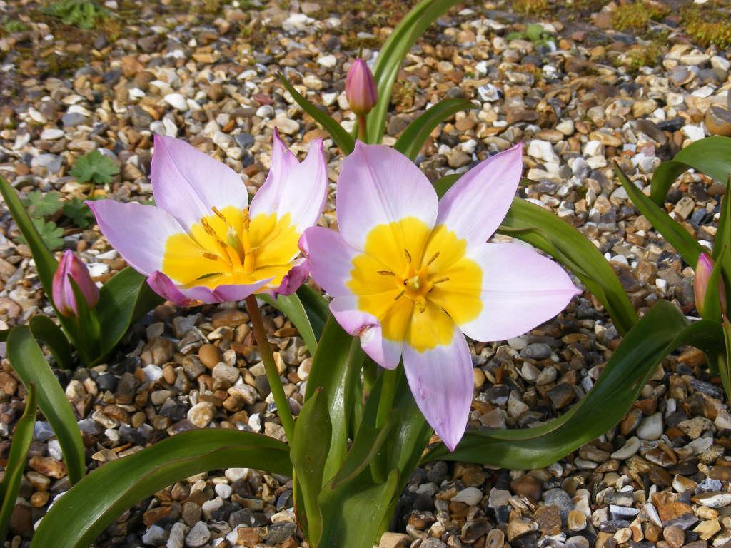 Tulipa Saxatilis Bakeri Group Lilac Wonder 15 Candia