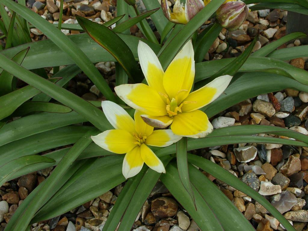 late tulip