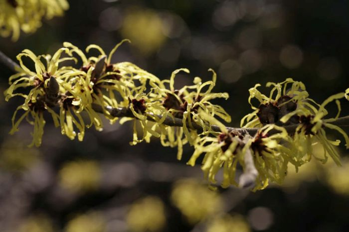 witch hazel 'Wisley Supreme'