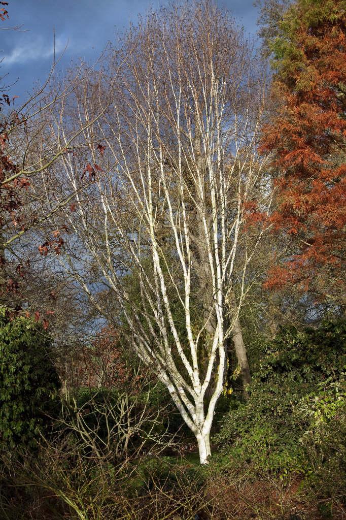 Betula Utilis Var Jacquemontii West Himalayan Birch Rhs