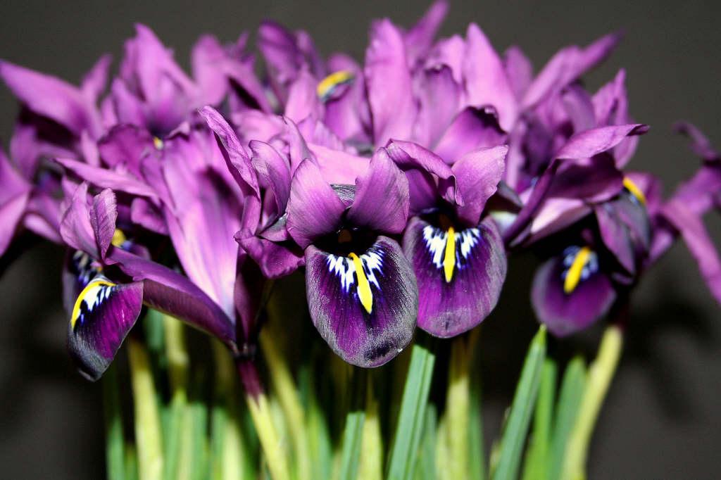 Iris 'George'