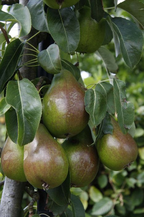 pear 'Louise Bonne of Jersey'