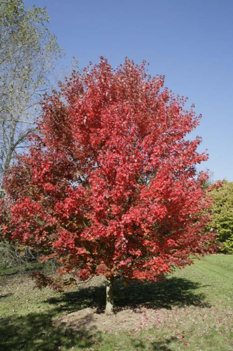 red maple 'October Glory'