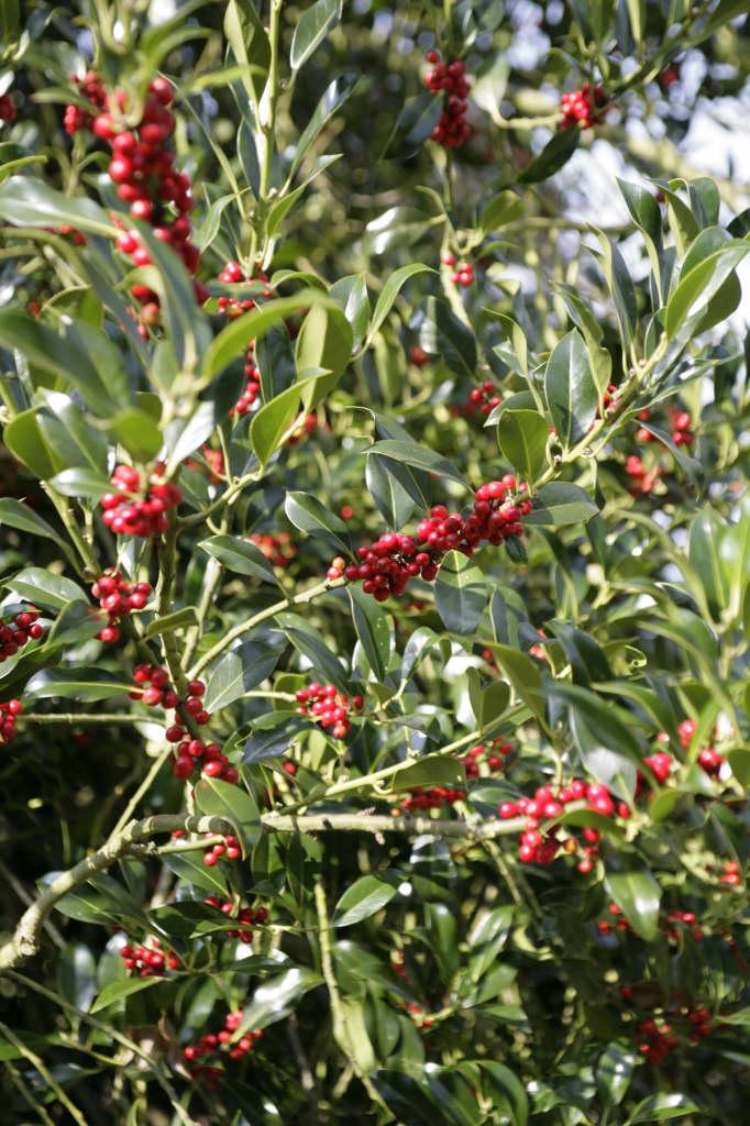 Ilex Aquifolium Common Holly Rhs Gardening