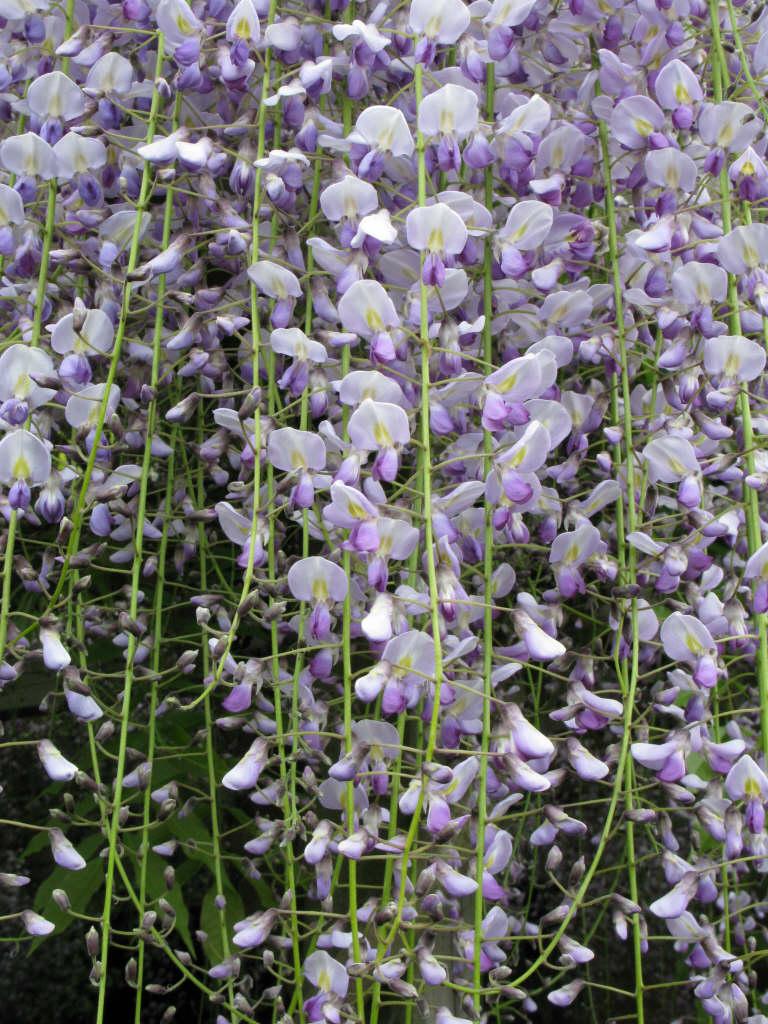 Japanese wisteria 'Multijuga'
