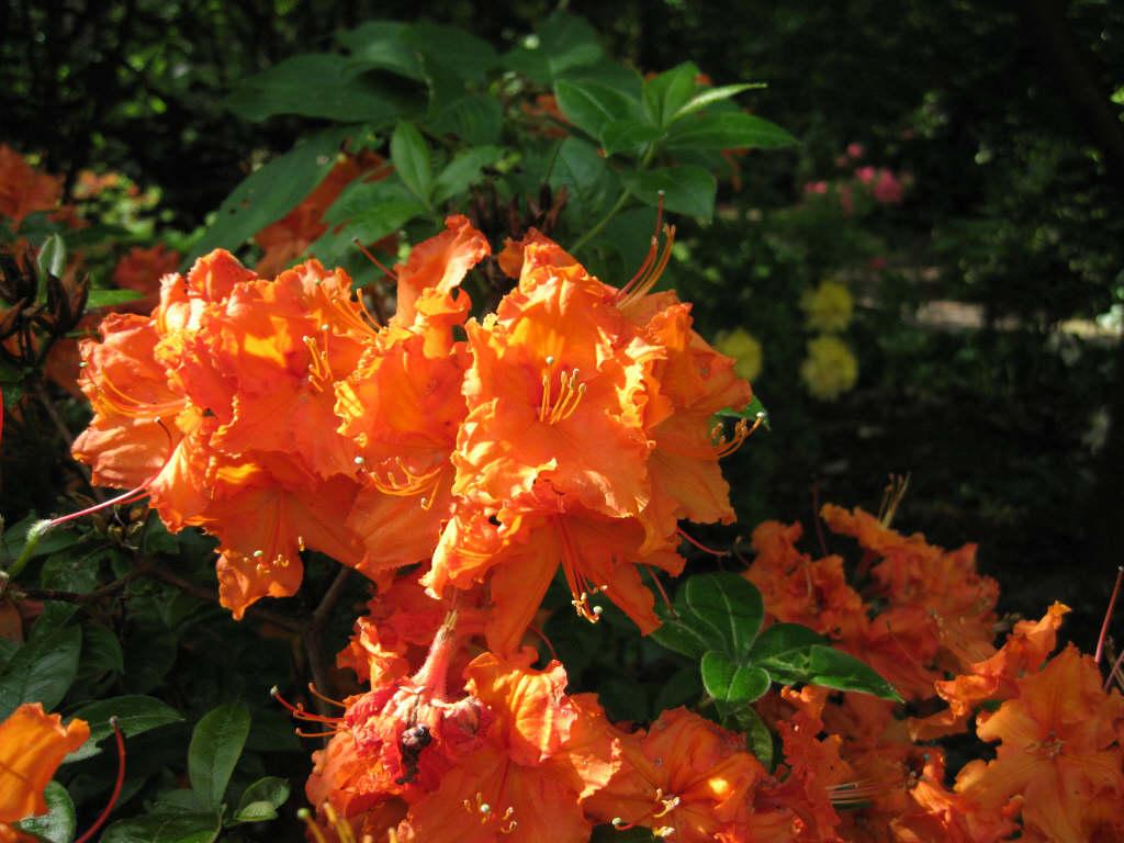 Rhododendron Gibraltar K Rhododendron Gibraltar