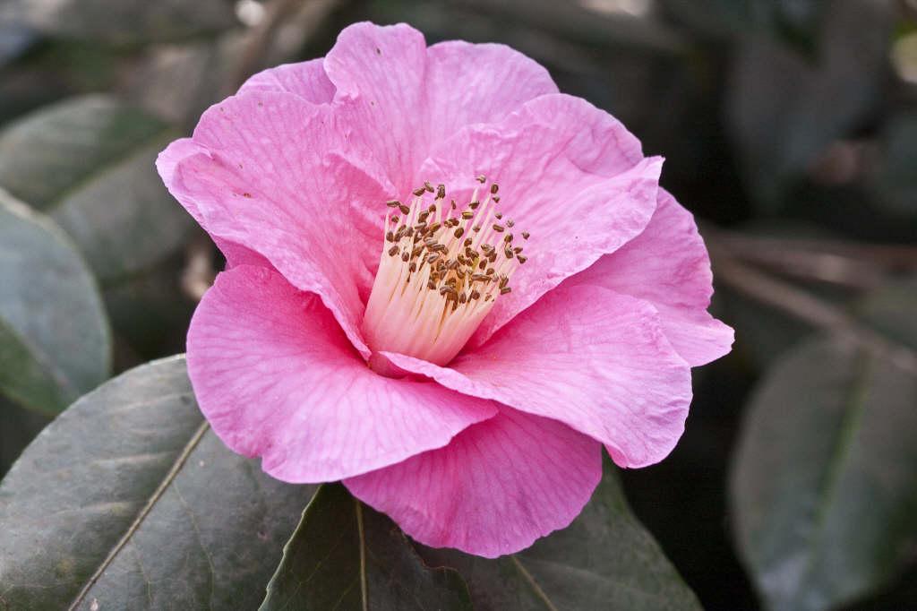 camellia 'Muskoka'