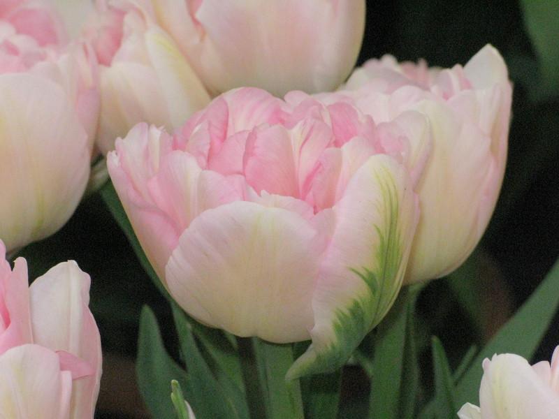 tulip 'Ang&#233