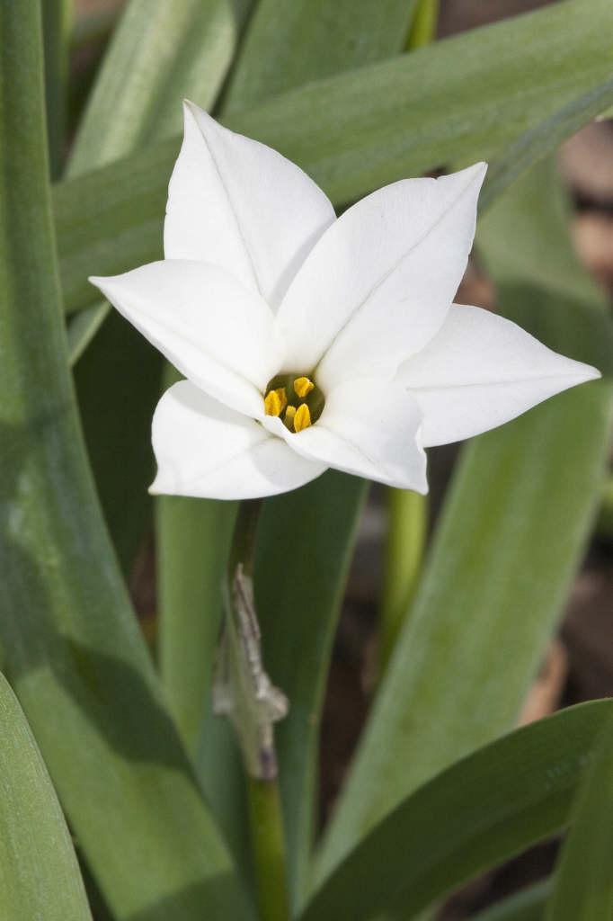starflower 'Alberto Castillo'