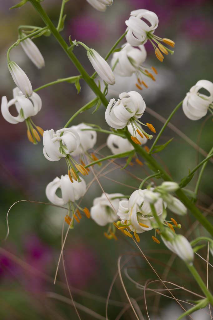 white Turk's cap lily