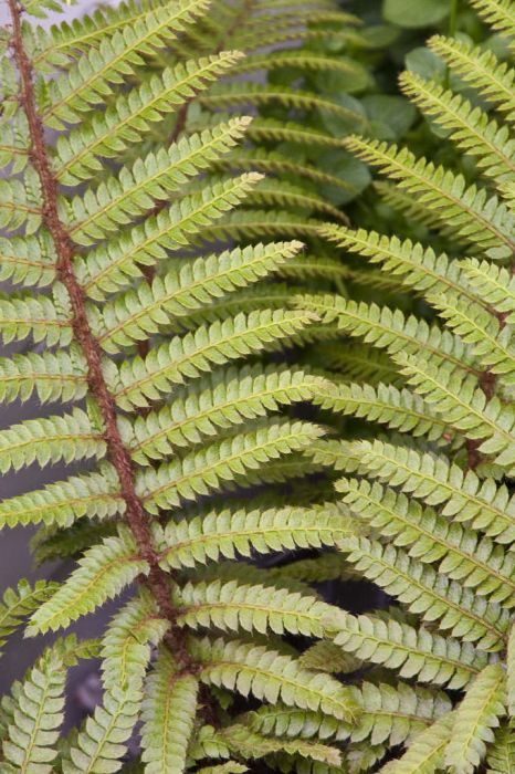 Japanese lace fern