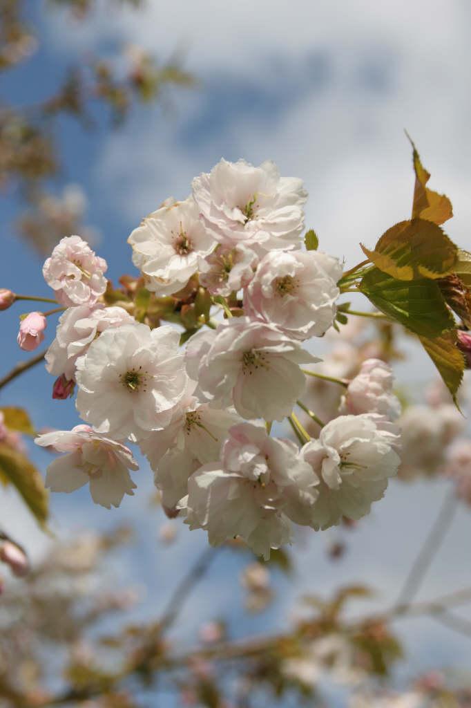 cherry 'Ichiyo'