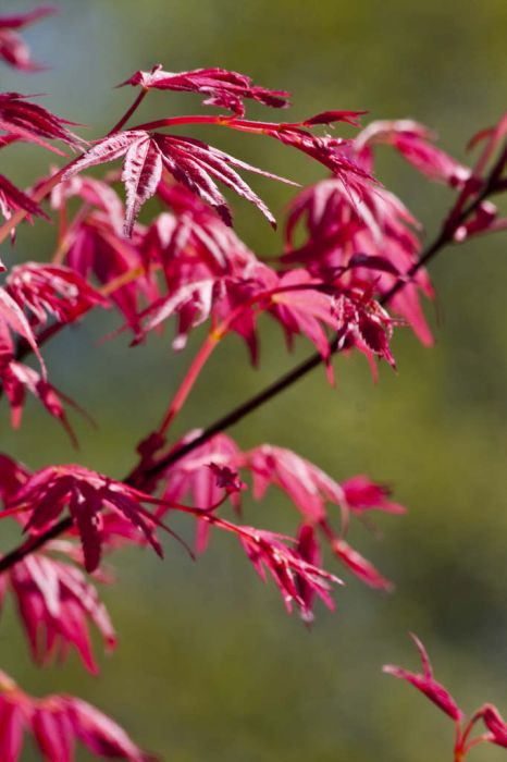 Japanese maple 'Shindeshojo'