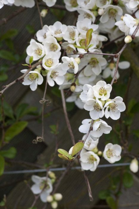 Japanese quince 'Nivalis'