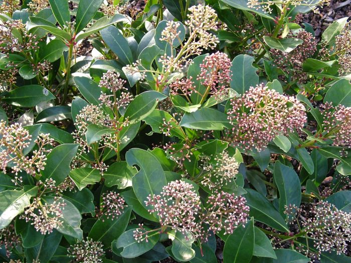 skimmia 'Fragrans'