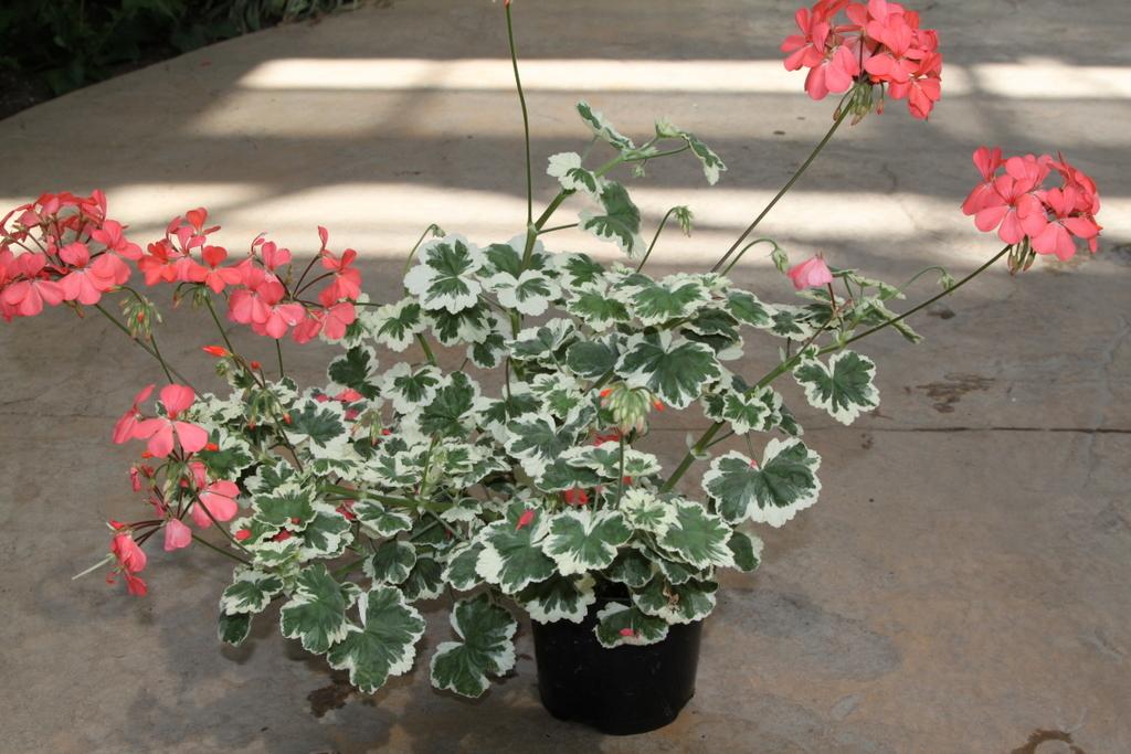pelargonium 'Frank Headley'