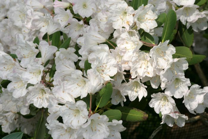 great white rhododendron