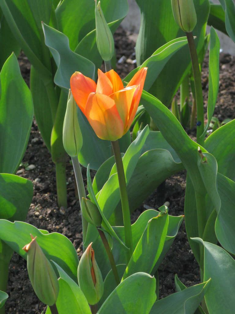 tulip 'Orange Emperor'
