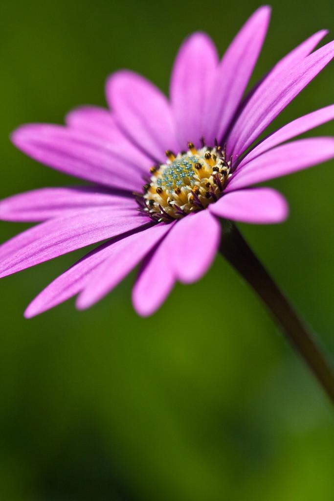 African daisy 'Stardust'