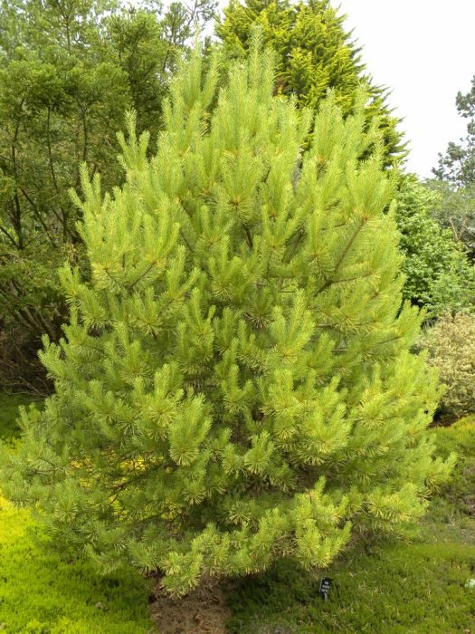 Scots pine 'Gold Coin'