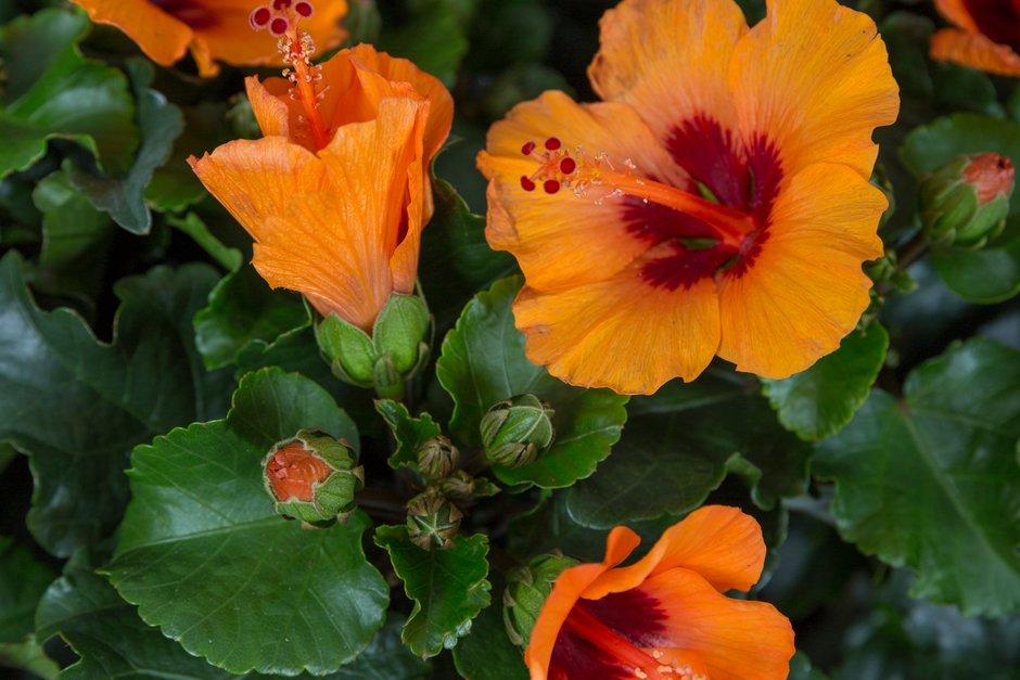Chinese hibiscus 'Petit Orange'