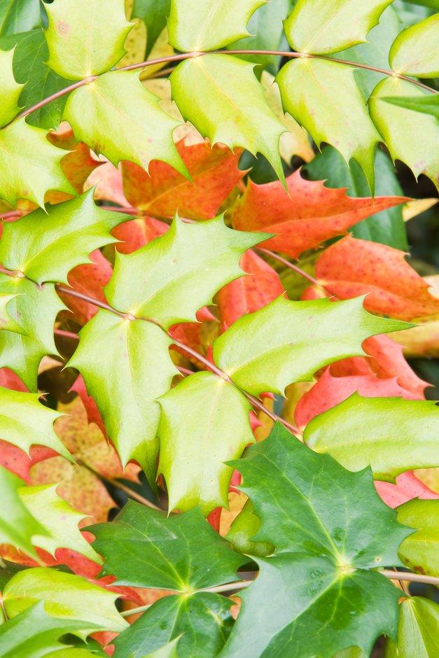 <i>Mahonia japonica</i> 'Hivernant'