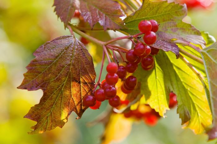 compact guelder rose