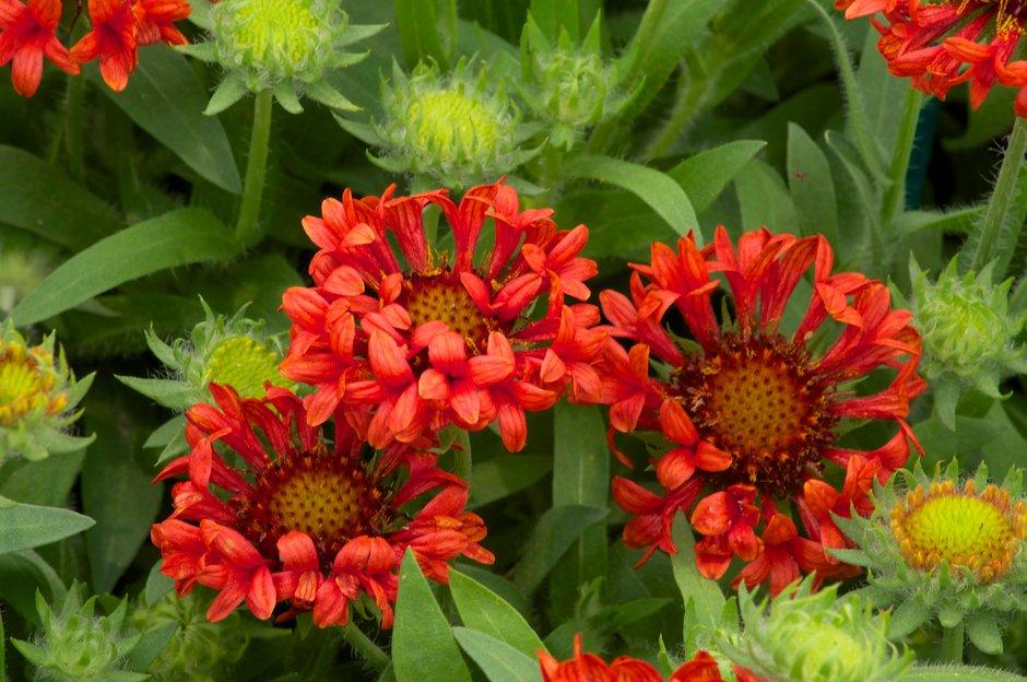 blanketflower 'Fanblaze'