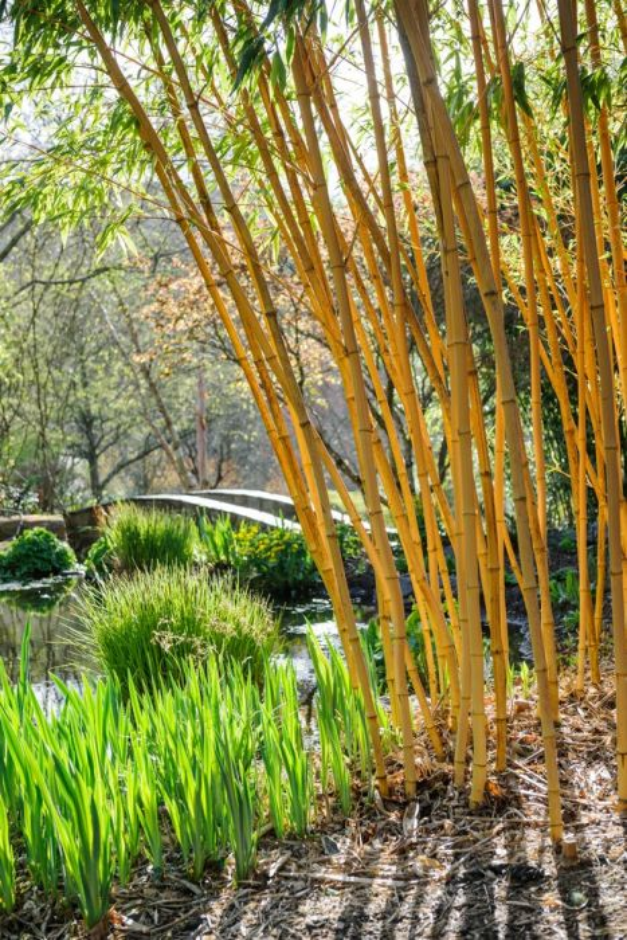 Allgold bamboo