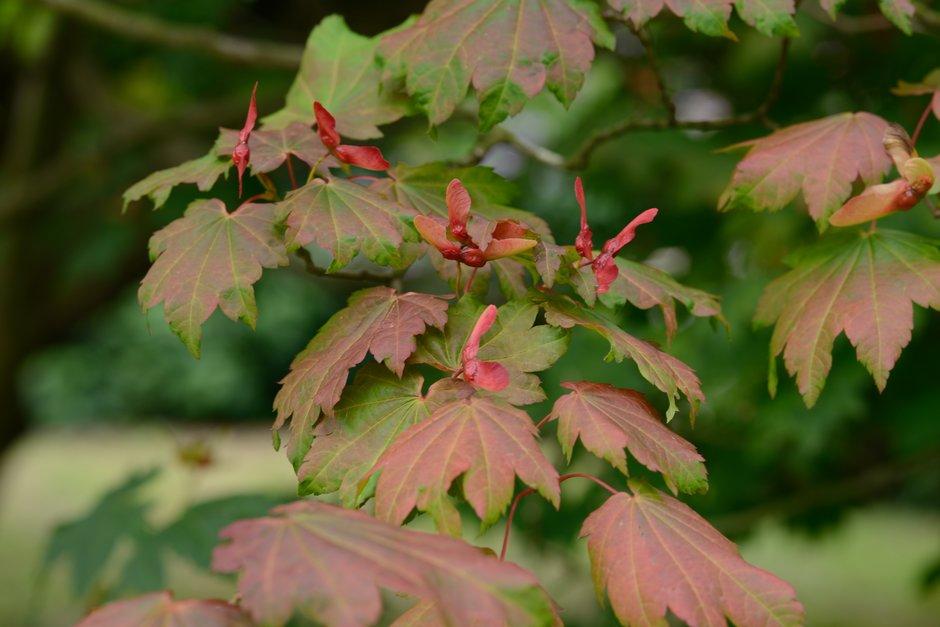 Acer Japonicum Vitifolium Downy Japanese Maple Vitifoliumrhs