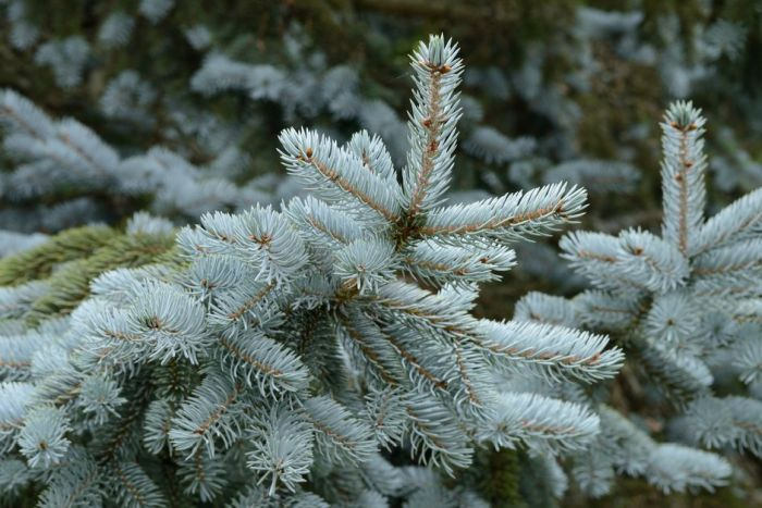 Colorado spruce 'Hoopsii'