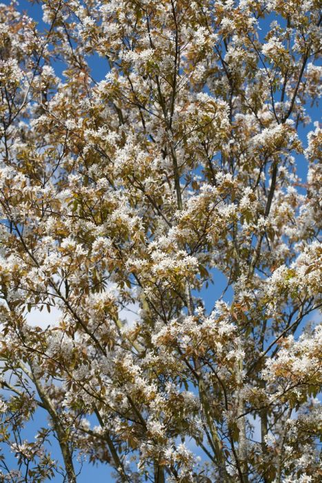 serviceberry 'Robin Hill'
