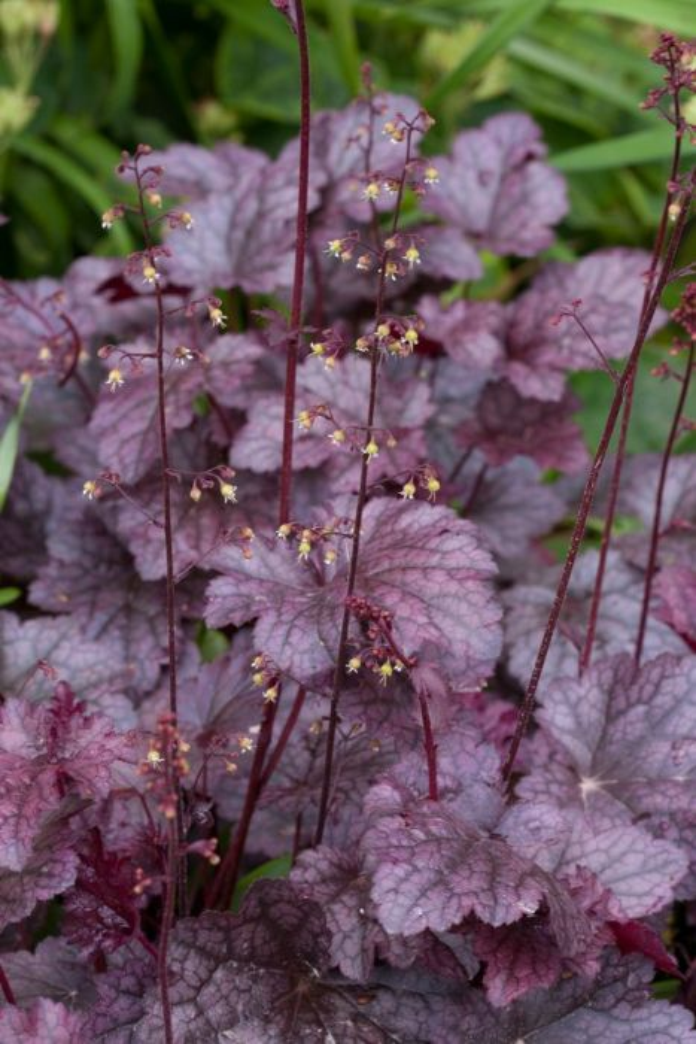 alum root 'Palace Purple'