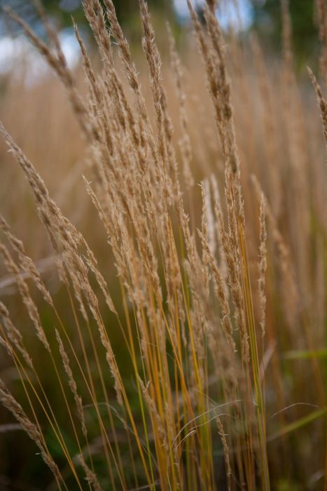 feather reed-grass 'Karl Foerster'