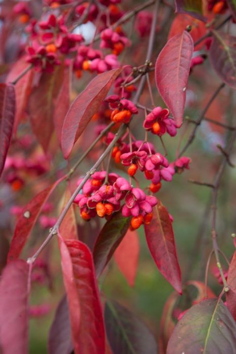 spindle 'Red Cascade'