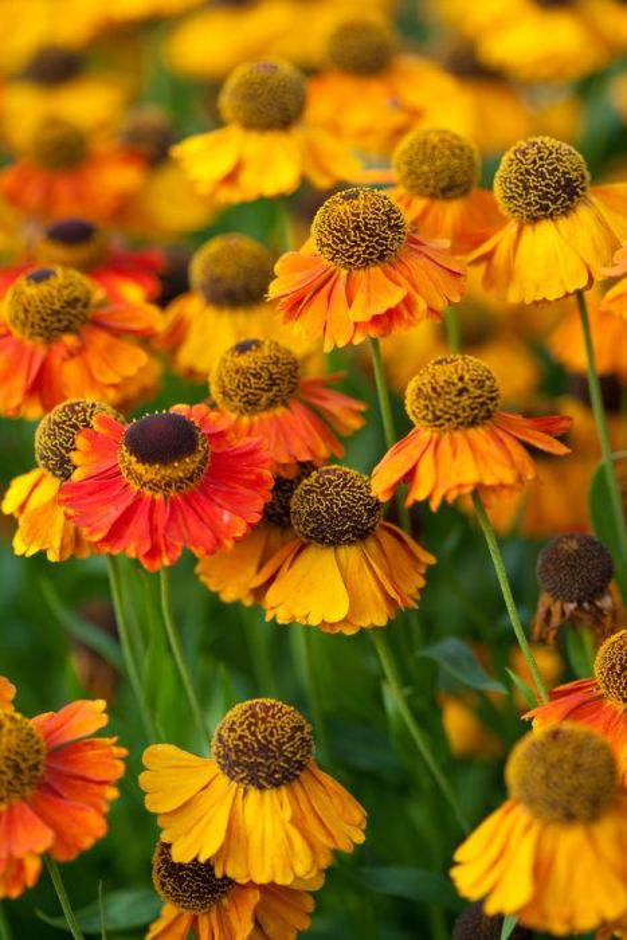 sneezeweed 'Sahin's Early Flowerer'