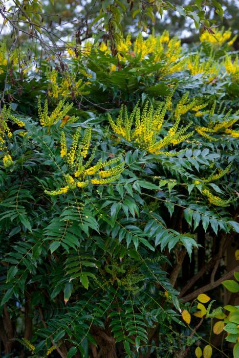 Oregon grape 'Charity'