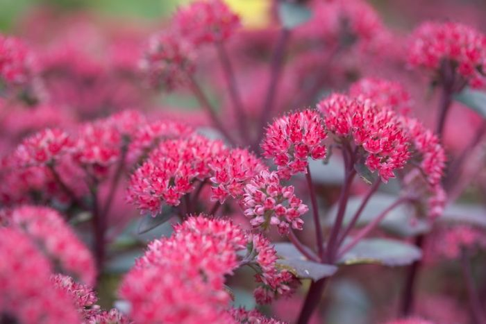 stonecrop 'Red Cauli'