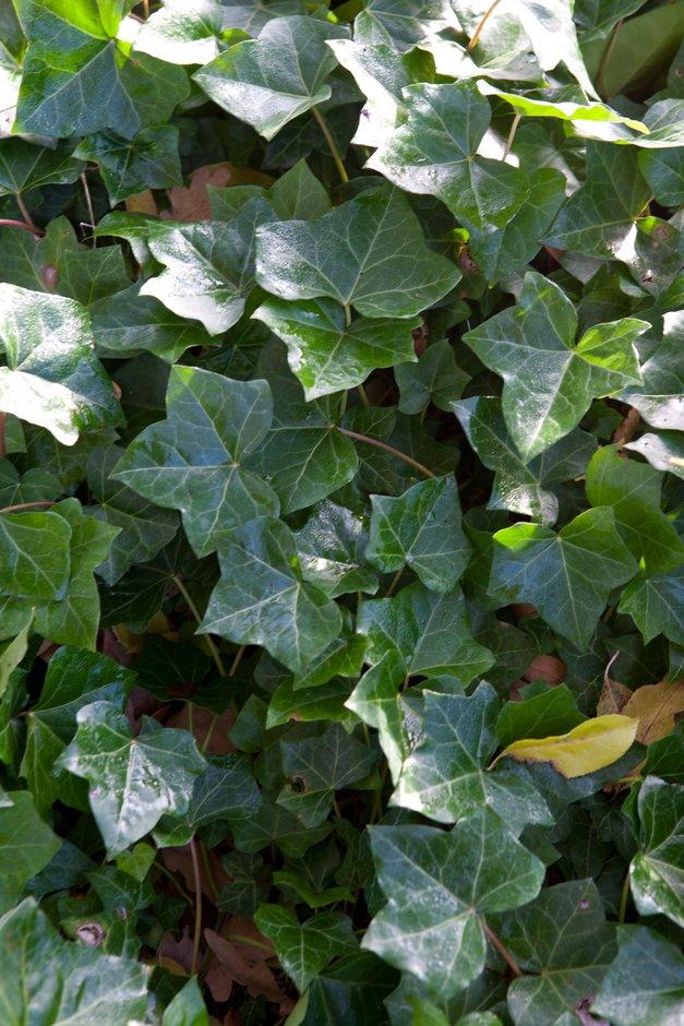 ivy 'Sulphur Heart'