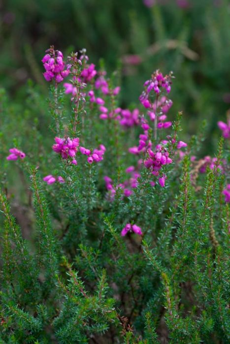 bell heather 'Rosy Chimes'