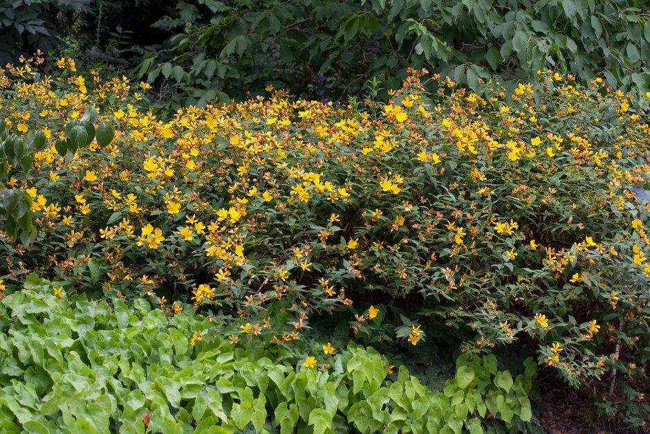 <i>Hypericum hircinum</i> subsp. <i>albimontanum</i>
